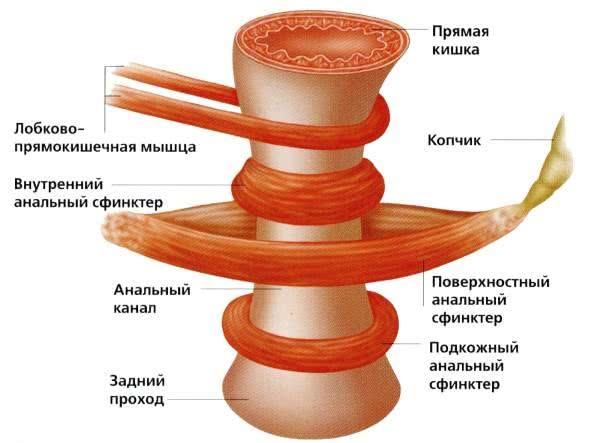 Мышцы ануса