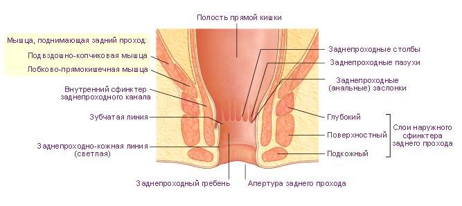 Строение нижнего отдела прямой кишки