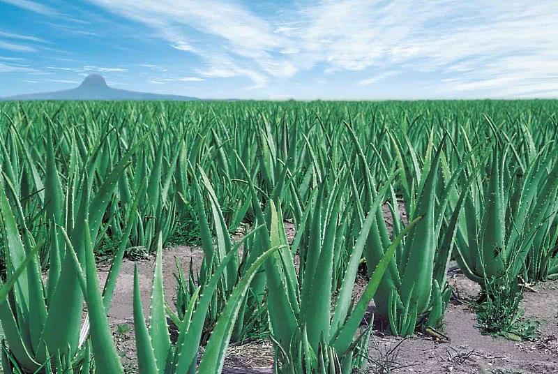 Плантация растений алое вера