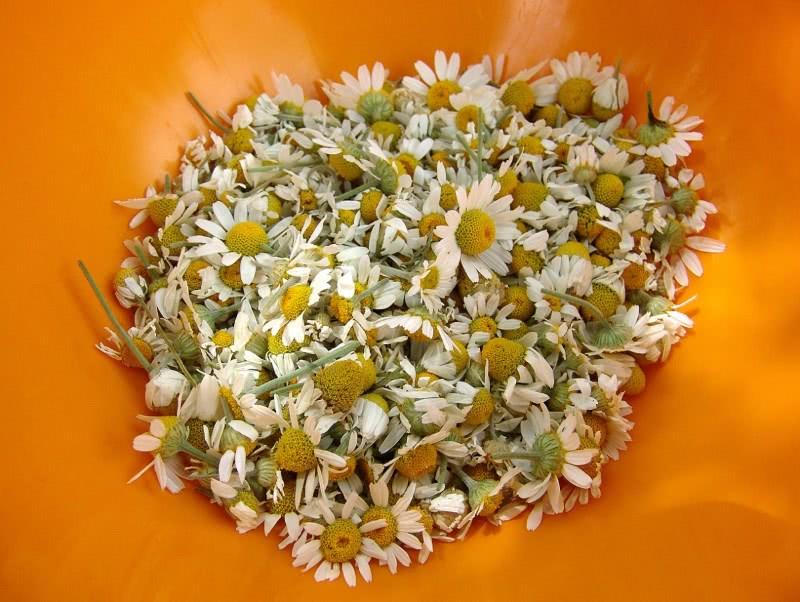 Цветки ромашки лекарственной