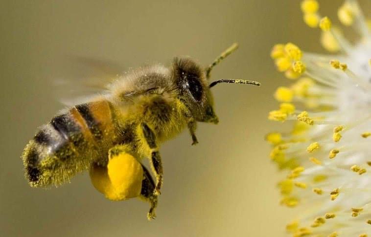 Летящая пчела с пыльцой на лапках