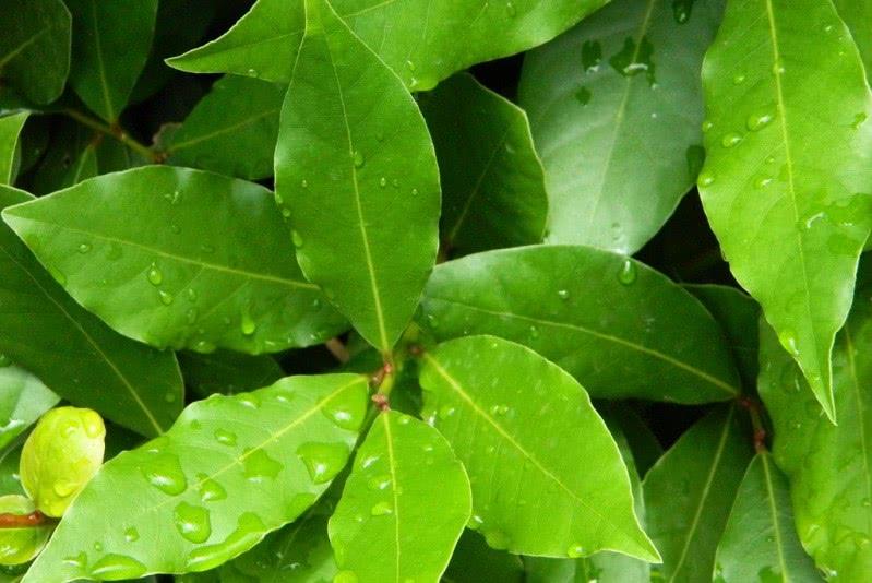 Листья лаврового дерева