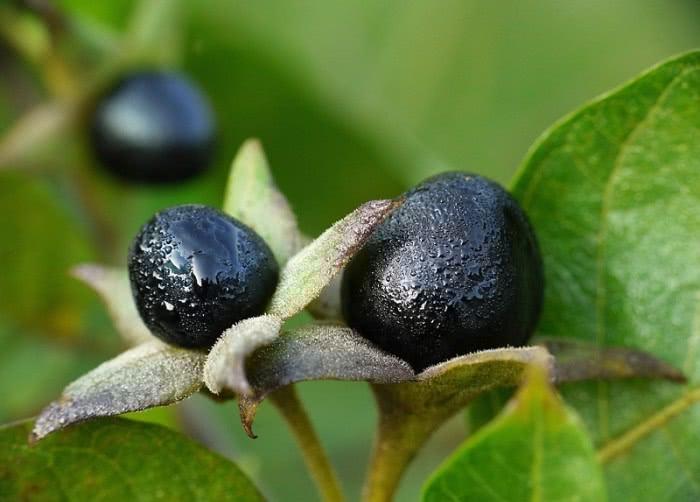 Плоды растения красавка, или белладонна
