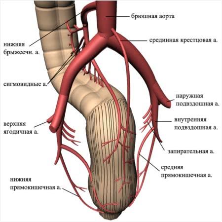 Кровоснабжение прямой кишки